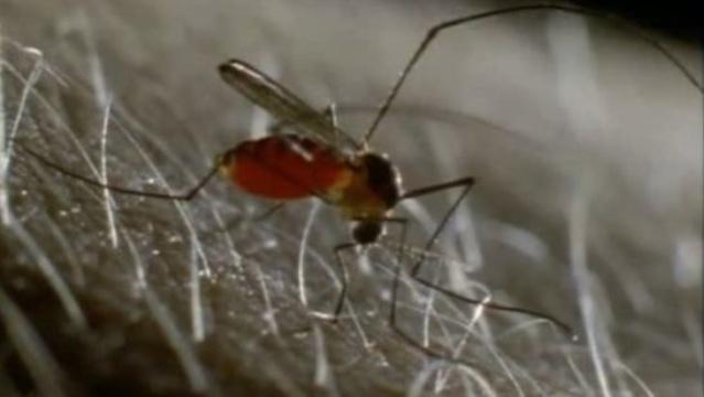 West Nile virus mosquito on skin