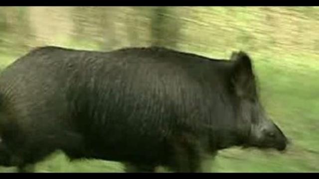 Wild boar 3