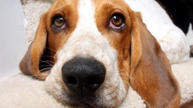 beagle, dog, closeup