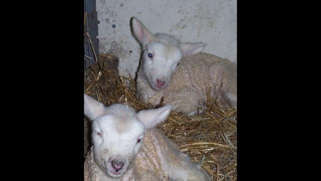 Baby-lambs.jpg_24693140