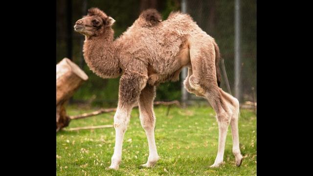 Camel Bulgan by Mark M