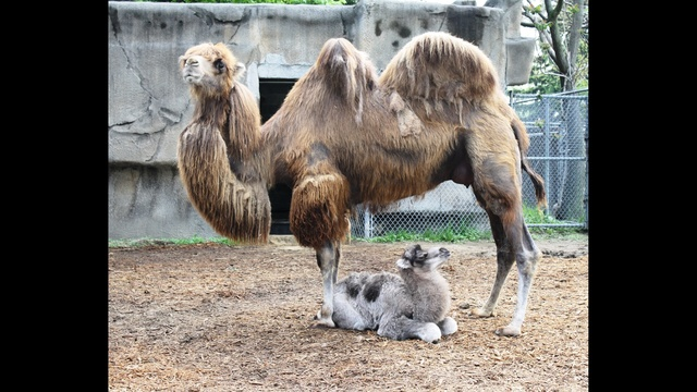 Camel Calf and Mother Suren