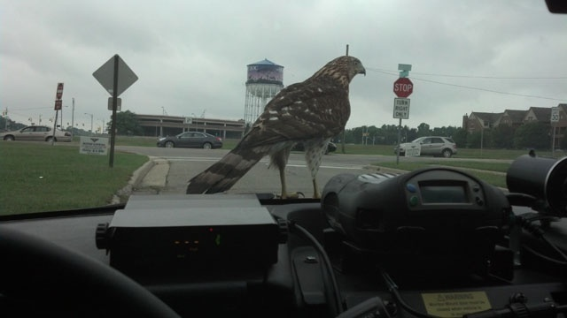Hawk on Royal Oak PD car