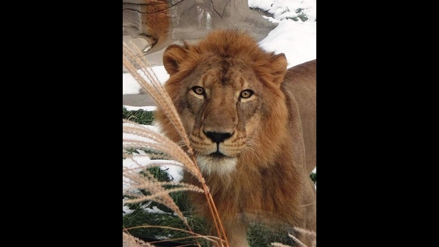 Simba-the-Lion-2.jpg_18165652