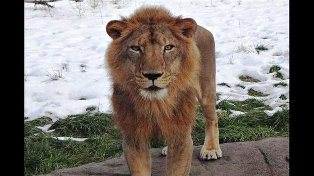 Simba-the-lion-1.jpg_18165648
