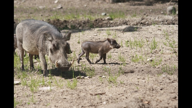 Warthogs - Lilith and One Piglet