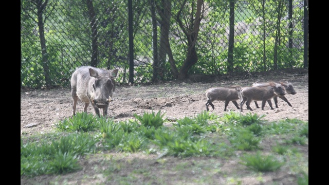 Warthogs - Lilith and Three Piglets
