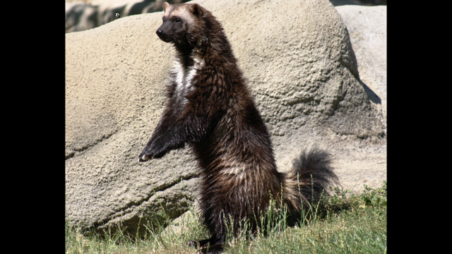 Ann the wolverine at the Detroit Zoo