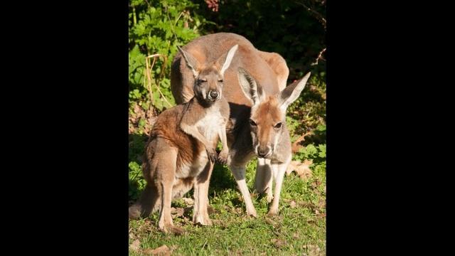 kangaroos Detroit zoo 5162012