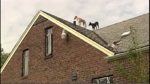 dogs-on-roof1.jpg_22282936