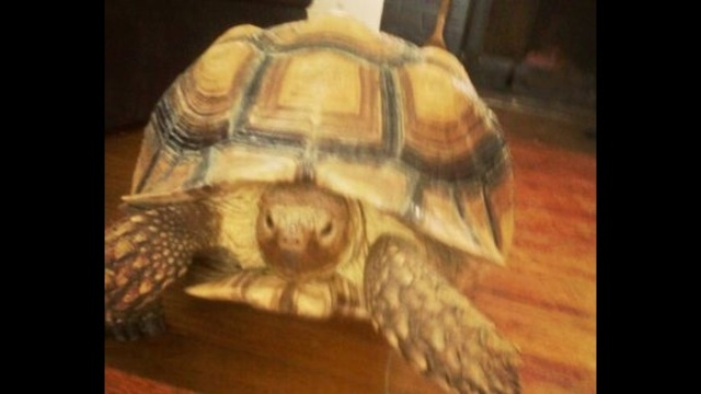 35-pound-tortoise-named-Magic-Johnson.jpg_20469406