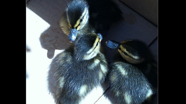 Baby-ducks-saved-Novi-1