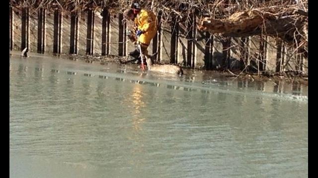 Grosse Ile deer rescue 2