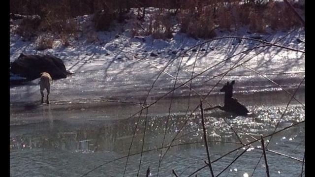 Grosse Ile deer rescue 3