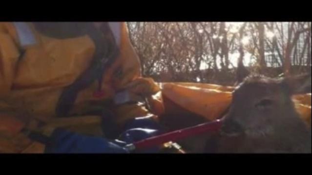 Grosse Ile deer rescue 5