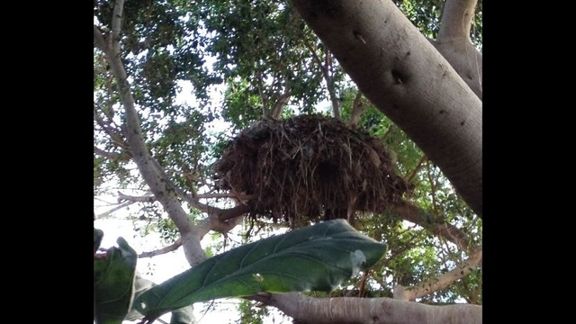 Hamerkop-Nest.jpg_18264018