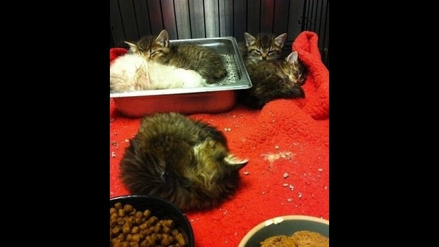 IMAGE:  Some of the kittens found in a Lowell woman's bedroom