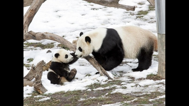 Mei-Xiang-and-7-month-old-son.jpg_16947268