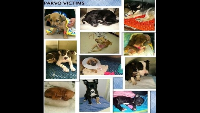 Dogs treated for parov virus by 4Paws 1Heart