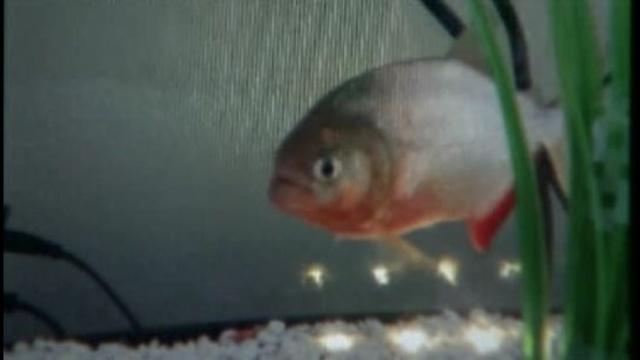 Piranha at Detroit chop shop