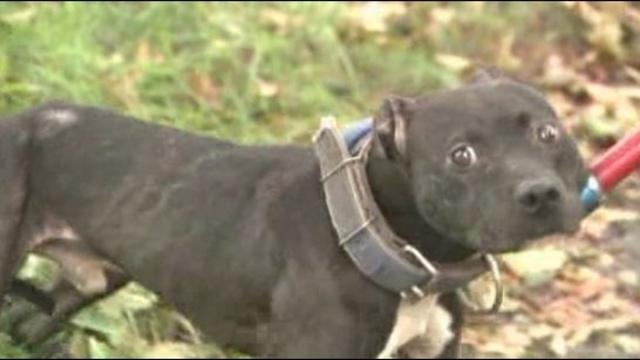 Pit bulls rescued Detroit 1