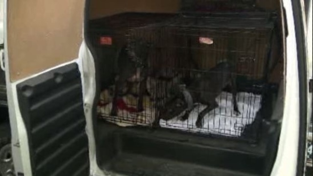 Pit bulls rescued Detroit 2