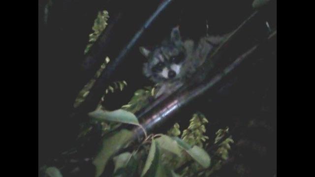 Southfield raccoon