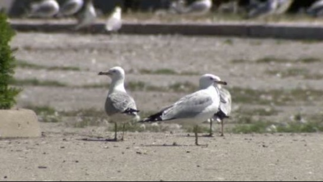 Southgate seagulls 4