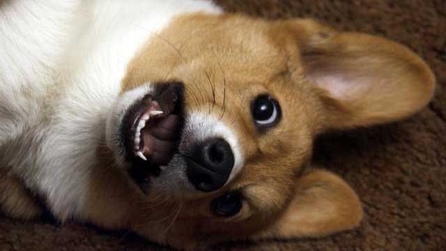 Welsh corgi dog on the floor