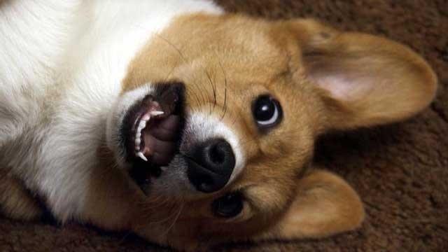 Welsh corgi dog on the floor