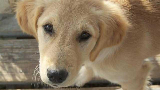 golden retriever dog closeup