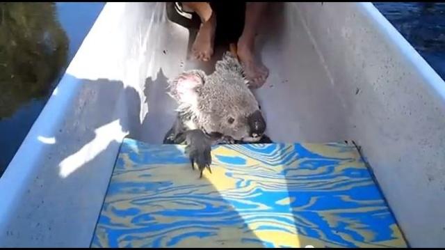 koala on canoe