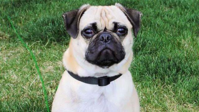 pug dog on grass