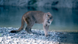 Authorities: Dead cougar found along road had been snared