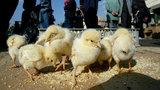 Dirty birds cause Salmonella outbreak in Michigan