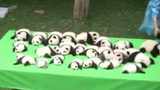 Video: 23 adorable panda cubs make their debut in China