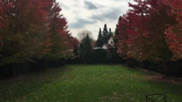 Sterling Heights maple trees in backyard