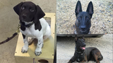 4-legged cops: Meet the Oakland County Sheriff's K9 officers