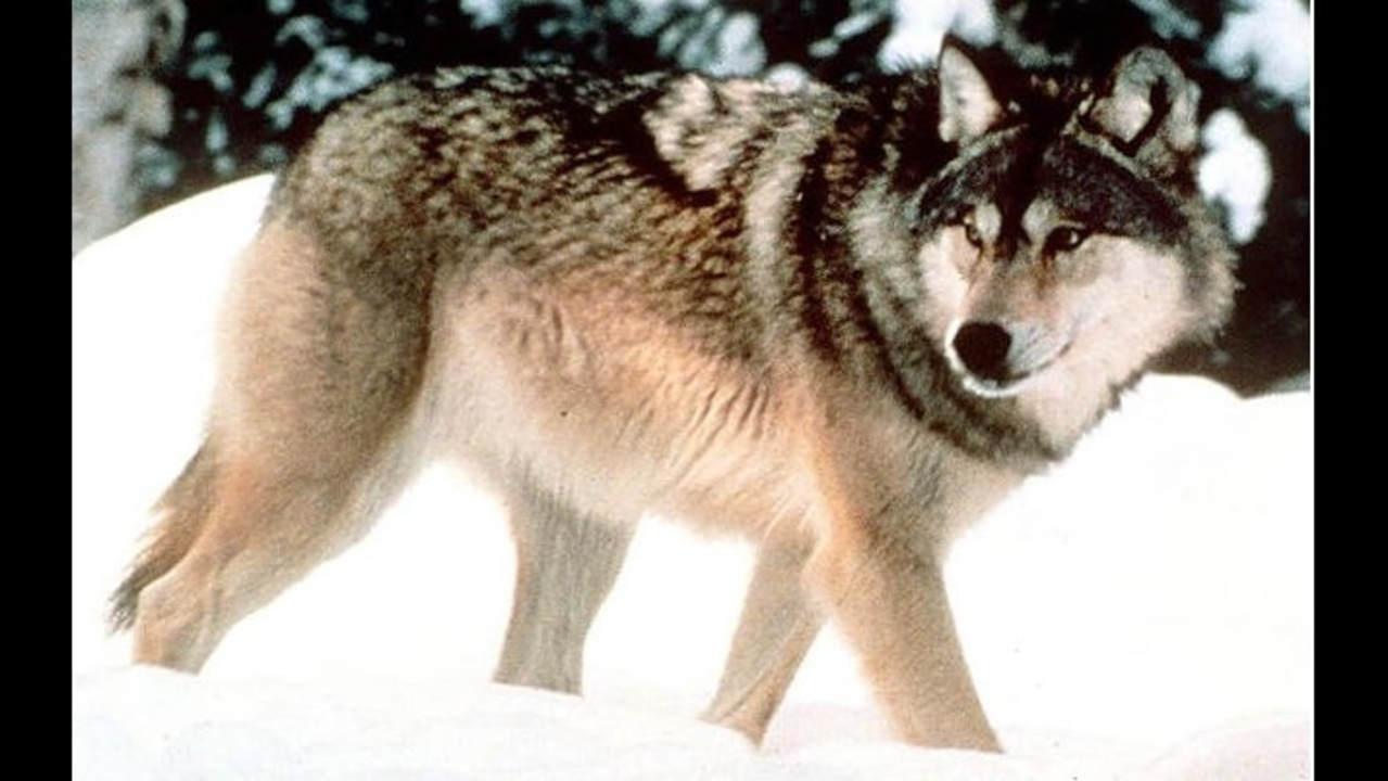 Michigan Dnr Investigates 2 Wolf Killings In Upper Peninsula