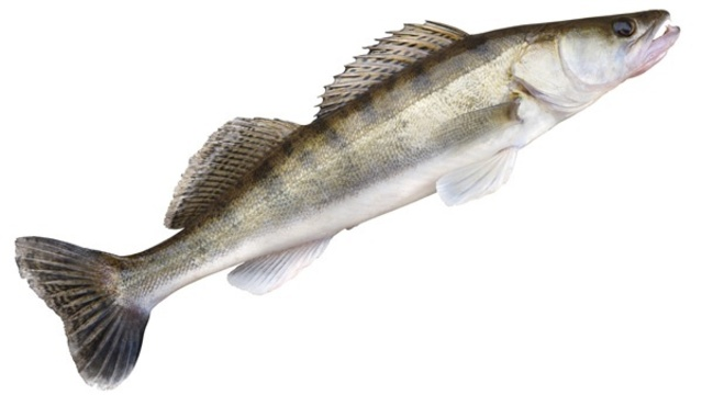 More than 460K walleye fingerlings stocked in Michigan bay