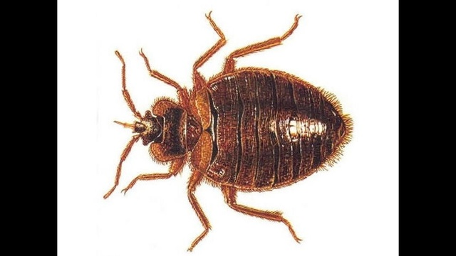 Bed Bugs _19351584