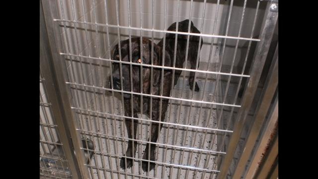 Bull mastiff picture 2_27129548