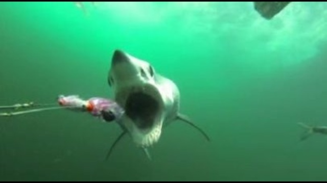 Shark-on-GoPro-video.jpg_23304522