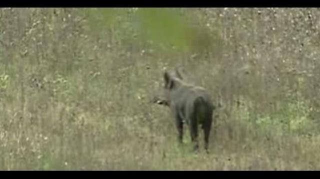 Wild boar 2_9742278