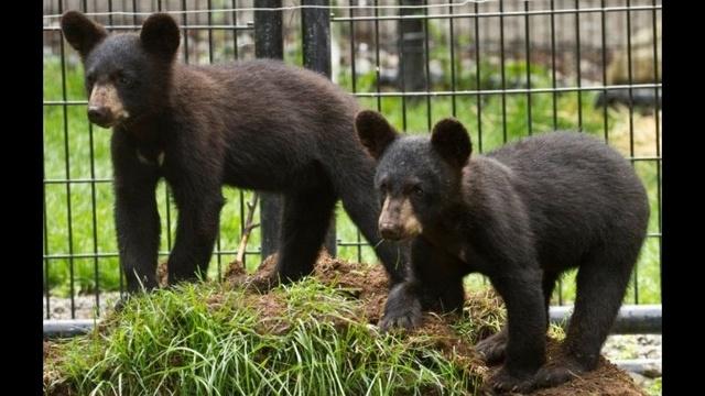 Binder Park Zoo bear cubs