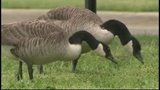 Michigan DNR using dogs to solve 'messy' geese problem on Detroit's Belle Isle