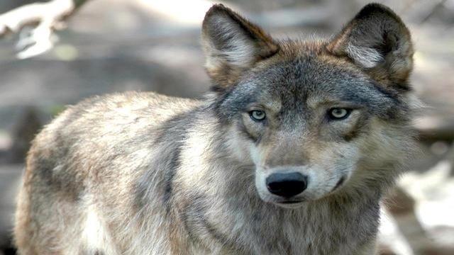 Gray-Wolf---26998048.jpg_2113642
