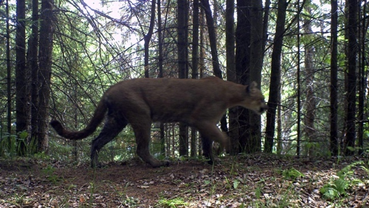 wixom cougar women The michigan department of natural resources on thursday released video  captured by a trail camera showing an adult male cougar feeding.