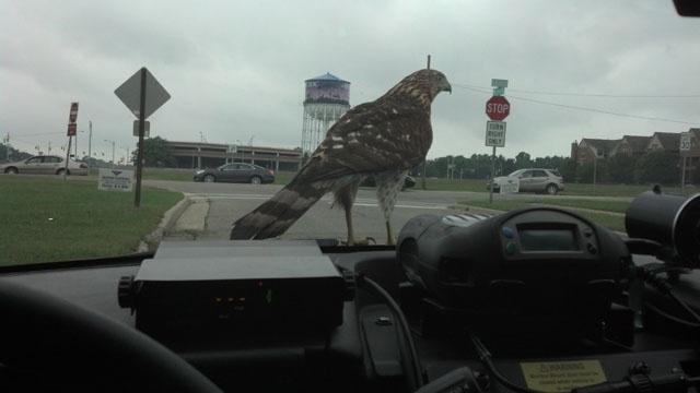 Hawk on Royal Oak PD car