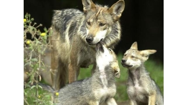 Wolves_16135612
